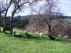 Ostara (Grand-Pappà...) Tags: auvergne hauteloire hautesterres humour hiver printemps lobeç margeride marjarida massifcentral chèvre chabre chevreaux chabrit goats