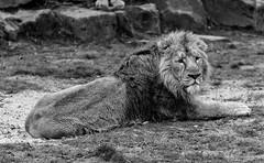 Lion king (Stijn Daniels) Tags: lion leeuw dierentuin zoo dier kat planckendael blackandwhite black white zwartwit zwart wit canon rebel 600d 70200f4l