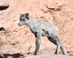 Baby! (dan.weisz) Tags: desertmuseum sheep bighornsheep babyanimal