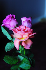 DSC_6725 (PeaTJay) Tags: nikond300s sigma reading lowerearley berkshire macro micro closeups gardens indoors nature flora fauna plants flowers rose roses rosebuds