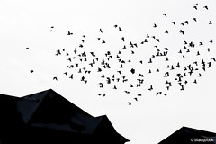 fly away heart (blacqbook) Tags: birds pigeons wildlife animals flight wings nature flying flock rooftops roofs sky abstract shapes heartshaped blacqbook toronto