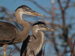 Baby Blues (jamiegoodspeed) Tags: birds babies wildlife animals south florida wild wakodahatchee wetlands birding trail