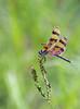 Halloween Pennant (aeschylus18917) Tags: danielruyle aeschylus18917 danruyle druyle ダニエルルール japan 日本 america florida insect odonata dragonfly libellulidae celithemiseponina halloweenpennant 200500mm pxt