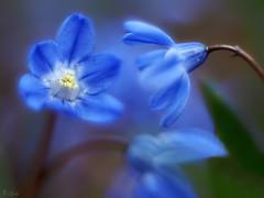 Scilla siberica (pen3.de) Tags: penf cyclop offenblende bokeh blumen blau frühblüher russianlens planze stengel makro