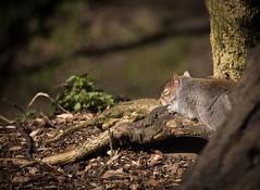 It's a hard life!!! (Chr1is76) Tags: greysquirrel sleeping lazy hardlife wildandfree wildlife naturereserve rspb bbcspringwatch penningtonflash sunshine relaxing nikon sigma
