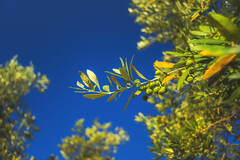 Green olive tree (petrapetruta) Tags: olives green blue colorful summer sonya7 sunny light