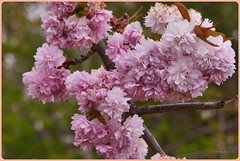Spring Flower - Frühlingsblüten (Karabelso) Tags: flower blossom bokeh trees spring rose blume blüte baum frühling rosa panasonic lumix gx7
