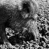 Wild zwijn (Geert Theunissen) Tags: zwijn varken schwein anholterschweiz