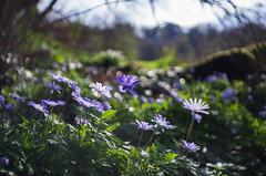 woodland wildflowers (ΞSSΞ®®Ξ) Tags: ξssξ®®ξ pentax k5 angle 2017 blue bokeh backlight green depthoffield plant blooming anemoneapennina outdoor countryside sky kepcorautowideanglemc28mm128 forest spring light wind wildflowers flowerbed tufahillforest woodland
