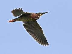 Green Heron (Eleanor Briccetti) Tags: california usa bird levin quoted couty parkquot quotbutorides quotnorth quotgreen americaquot heronquot quoteleanor briccettiquot virescensquot
