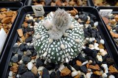 039 (_Biess) Tags: cactus asterias superkabuto