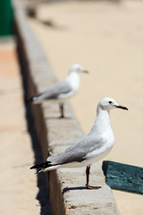 Sea Gull (Tiaan Heystek) Tags: bird beach strand capetown seemeeu