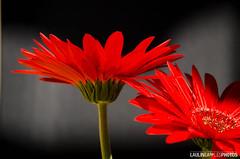 Fleur - Flower (Laulinea) Tags: red france nature fleur season landscape rouge spring year gerbera cycle april temps paysage avril pays printemps couleur période saison 02mois 2013 ère bouilladisse 01année