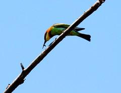 Chestnut-headed Bee-eater (6) (C&P_Pics) Tags: thailand cac chestnutheadedbeeeater meropsleschenaulti kaoyainationalpark beeeatersmeropidae