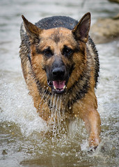 Branko Swims 2013-06-07-5 (falon_167) Tags: dog shepherd german gsd germanshepherddog branko
