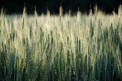 DoW(heat) - Explored (Robert Krner) Tags: barley flickr dof crop explored