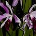 L. purpurata v. flamea x L. purpurata v. striata – Anita Spencer