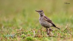 Paddyfield Pipit or Oriental Pipit (Anthus rufulus) (Dr.Bhattu) Tags: india bird out photography legs or growth oriental hyderabad andhra infection paddyfield pradesh pipit anthus rufulus bhattu