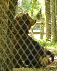 Grizzly Sitting and Pondering (MrGuilt) Tags: columbus ohio animals grizzlybear afsdxzoomnikkor55200mmf456ged zoosaquariums