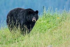 083113-80334.jpg (jim sonia) Tags: animal alaska 8x10 pick captive qc blackbear alaskawildlifeconservationcenter