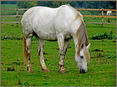 Horse Grazing (dark-dawud) Tags: uk england horse grass dock tail barrel crest pasture woodenfence cannon heel forehead knee hoof coronet watertank grazing poll equine mane muzzle hock flank croup withers ergot stifle fetlock bretford pastern