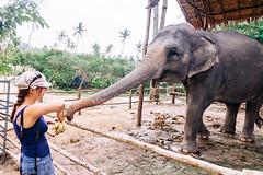 Elephant Feeding (Nomadic Vision Photography) Tags: winter elephant travelling thailand southeastasia feeding lifestyle experience tropical kosamui jonreid tinareid nomadicvisioncom waterfallnumbertwo