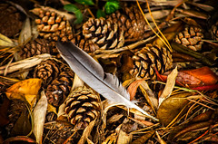 Feather and Pine Cones (garryknight) Tags: copyright garden leaf nikon fineart feather ventnor isleofwight pinecone allrightsreserved lightroom ventnorbotanicgarden 55200mmvr d5100