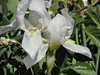 An Iris in my garden (pat.bluey) Tags: flowers iris white australia newsouthwales 1001nights mygarden flickraward 1001nightsmagiccity hennysgardens