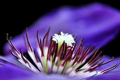 Clematis President (Wraith34) Tags: uk flower macro garden purple clematis nikond90