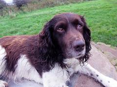 Benjy (billnbenj) Tags: dog king cumbria spaniel springerspaniel barrow benjy kingofhowtunwoods