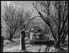Almond orchards in blossom, Brighton (State Records SA) Tags: blackandwhite car photography brighton blossoms australia almonds historical southaustralia vauxhall almondorchard almondblossoms frankhurley srsa staterecords staterecordsofsouthaustralia staterecordsofsa