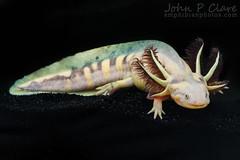 Barred Tiger Salamander (Ambystoma mavortium mavortium) (John P Clare) Tags: white black yellow gold texas skin axolotl metamorphosis hypo metamorph tigersalamander hypomelanistic barredtigersalamander redgills hypomelanoid