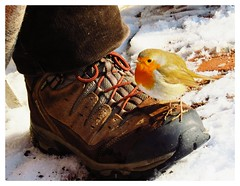 Charming little tame robin on a shoe (Christian_from_Berlin) Tags: winter snow berlin bird robin animal canon germany shoe european kodak moment europeanrobin kodakmoment sx50hs primephoto canonsx50hs