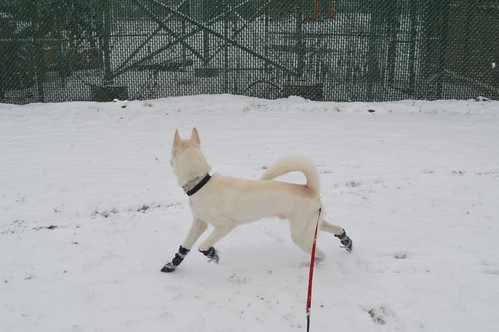 new york winter dog pet pets white snow cute dogs animals husky boots huskies booties vision:text=0521 vision:outdoor=0942 vision:sky=0628