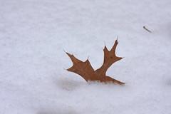 Goodbye Cruel World (Lyle58) Tags: winter brown white snow cold nature death leaf oak fluffy oakleaf veins minimalism dying