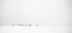 Sheep in a blizzard (Pewald) Tags: she winter white snow cold blizzard eps
