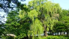 Esplanade Willow (mahler9) Tags: tree nature boston willow esplanade jaym mahler9 andantecomodofotos