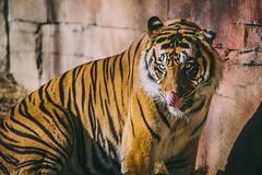IMG_4649 (SwiftTheFox) Tags: animal animals cat canon mississippi wildlife tiger jackson 300mm bigcat tigers 5d canon5d bigcats 300mmf4 300mmf4l jacksonzoo canonef300mmf4lusm canon5dmkii 5dmarkii 5dmkii 5dmk2 canon5dmarkii