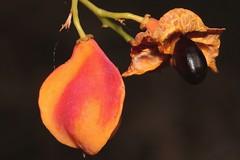 Toechima pterocarpum (andreas lambrianides) Tags: tamarind australianflora australiannativeplants sapindaceae arfp australianrainforests australianrainforestplants orangetamarind bushytamarind qrfp arffs australianrainforestfruits toechimapterocarpum australianrainforestseeds orangearffs tropicalarf australianrainforestfruitsandseeds