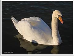 Schwanensee - Swan Lake (2)