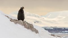 Gentoo Penguin, Neko Harbor, Antarctica (bfryxell) Tags: birds wildlife antarctica glacier iceberg gentoopenguin nekoharbor vision:sunset=071 vision:outdoor=0829 vision:sky=0836