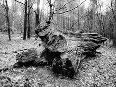 Fallen-Giant-2 (stevestreet) Tags: wood trees bw tree forest woodland blackwhite timber fallen huge laying 14mm omdem5