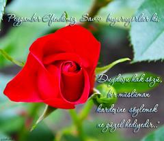 Sαv ♥ (gLySuNfLoWeR) Tags: islam gül sav ♥ güzel müslüman islamiyet ümmet peygamberimiz