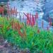 Himalayan Fleeceflower (Persicaria affinis 'Superba')
