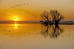 Sunset Formation (Steve Corey) Tags: composite reflections geese inflight silhouettes sandhillcranes flightpattern mercednwr rosssgeese flightformation flybys