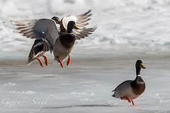 Ducking Around (gauravs82) Tags: lake snow bird feet ice water spread frozen duck wings pond flight feathers landing mallard aquatic waterfowl wingspan irridescent wading webbed plumage
