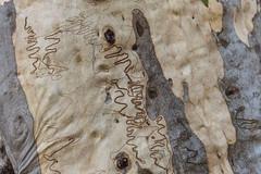 Scribbly gum tree (Alex E. Proimos) Tags: tree gum native australia eucalyptus scribbly