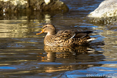 Safe Habour (Nicolas Pavlidis) Tags: light sun reflection bird nature water duck rocks warm 300mm naturephotography birdphotography primelens naturephoto canonphotography canoneos7d