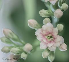 Mothers day flower... (lollipoplollipop@home) Tags: