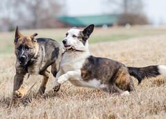 2014-03-15, Bones & Eden-1 (Falon167) Tags: dog puppy corgi shepherd german bones eden welsh cardigan cardi gsd germanshepherddog cardiganwelshcorgi